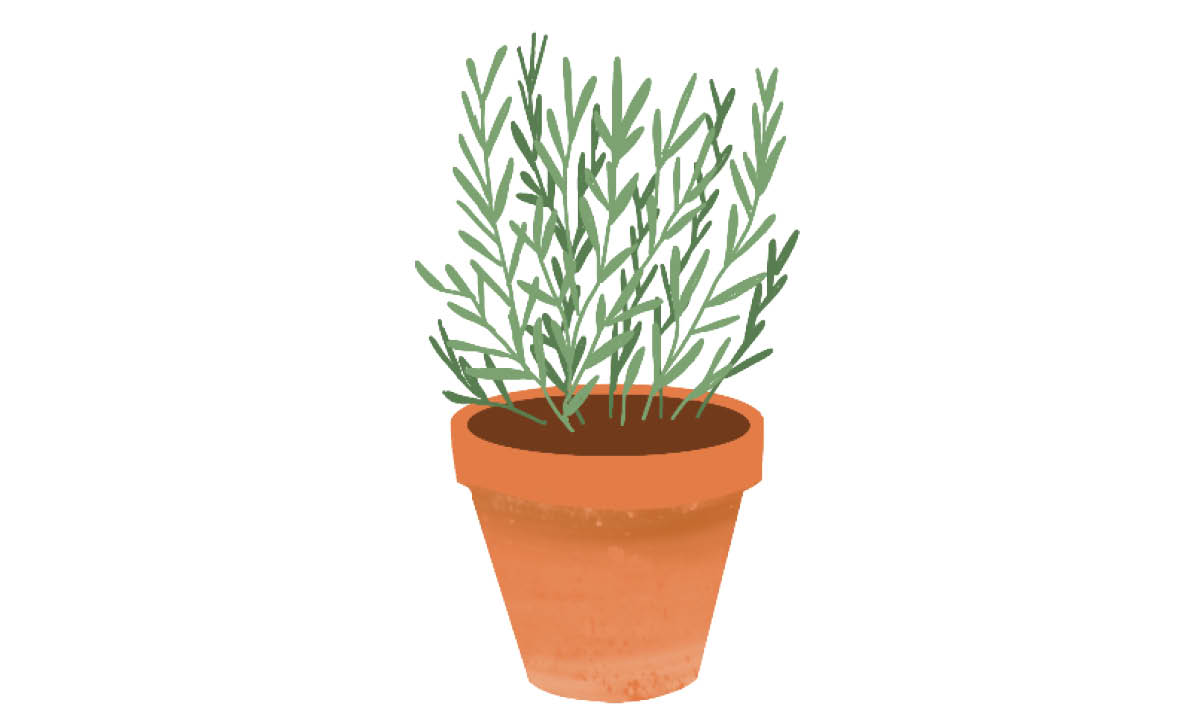 Plants to Grow with Kids - Rosemary